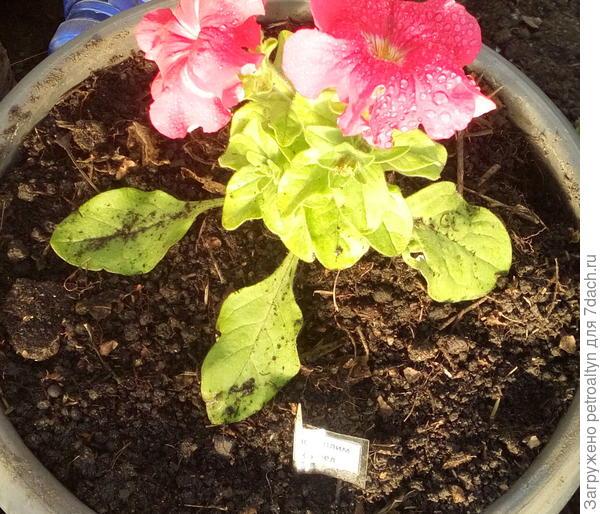 31 мая. Комплиментуния красно-белая цветет