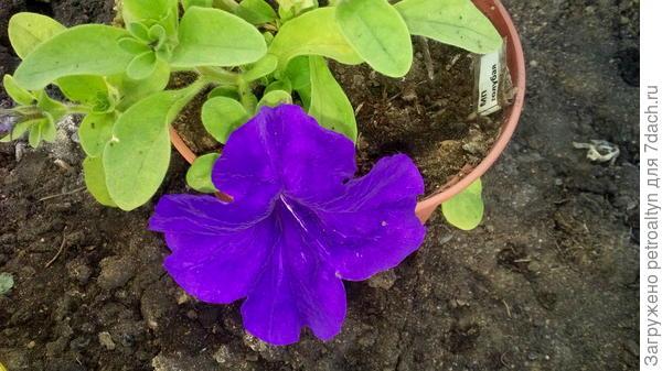 9 июня начало цветения у МП голубой