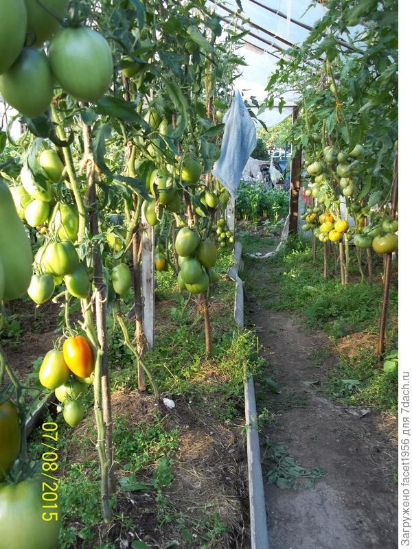 Мои индетерминантные сорта помидор