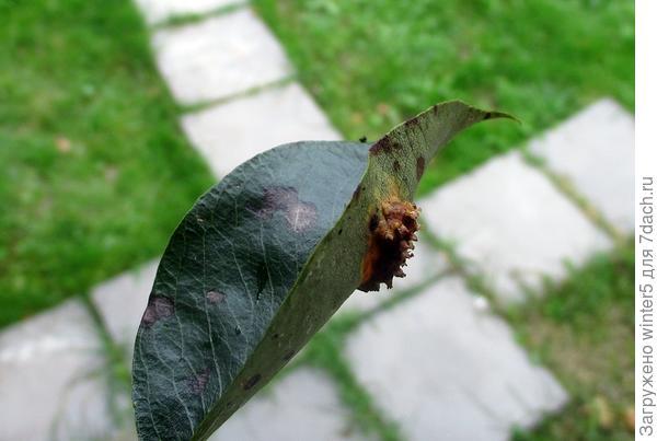 Лист груши
