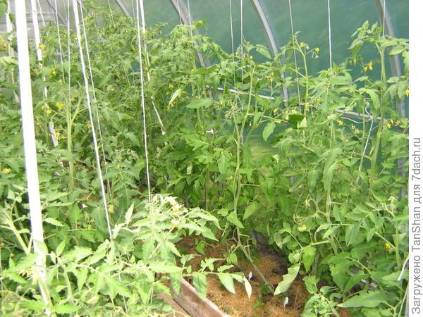 томаты Скорпион