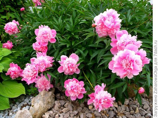 Розовые....