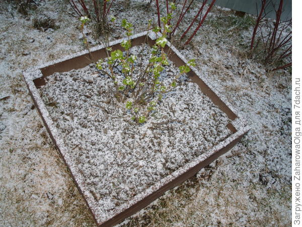 Смородинка тоже в снегу,лишь бы не замёрзла!