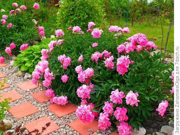 Пионы в моём саду