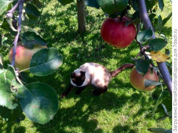 Спеют яблоки