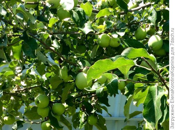 Поспевают яблочки