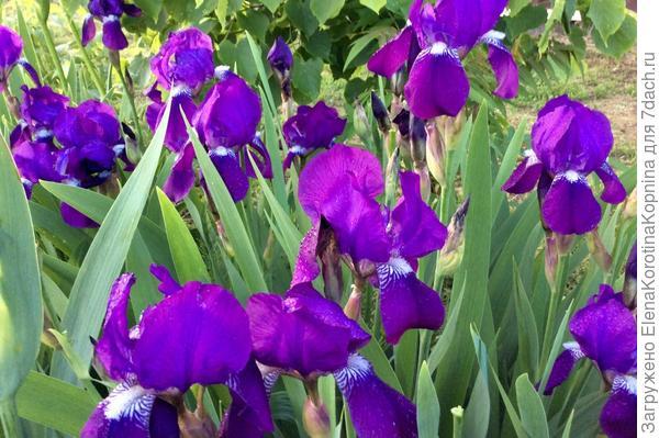 Фиолетовая радость