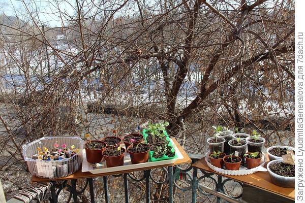 Небольшая часть рассады на балконе (фото недельной давности) В дали виднеется снег. Но на солнышке тепло,хоть загорай.