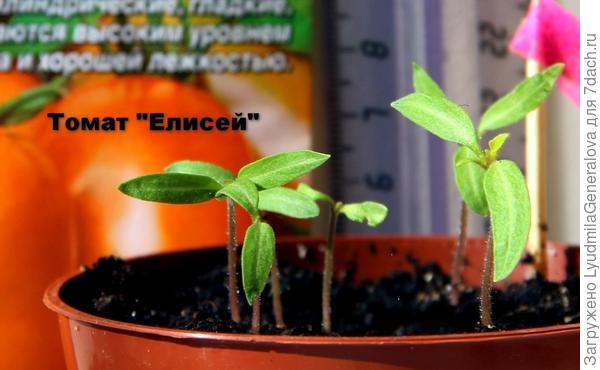 Коренастые стебли по 2 - 2,5 см.