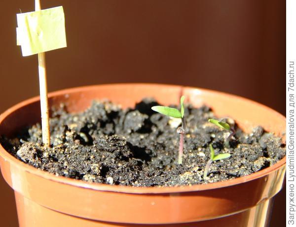 Первые три растения в горшочке