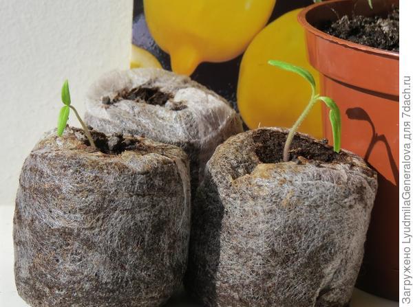 """Два ростка томата """"Цитрусовый сад"""" в таблетках"""