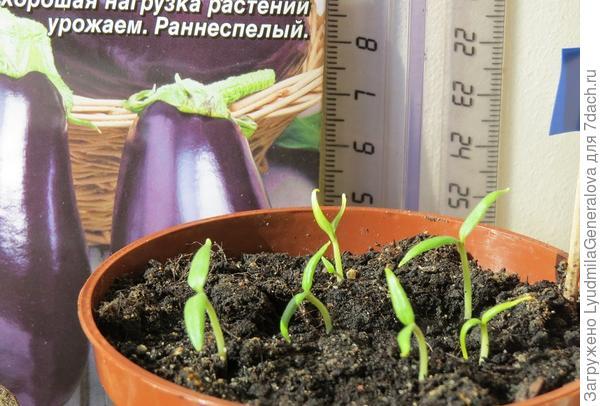 В горшочке  взошли все 7 семян