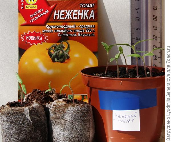 """Всхожесть томата """"неженка"""" - 100%"""