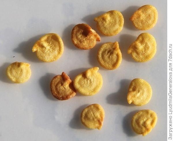Семена перца из пакетика