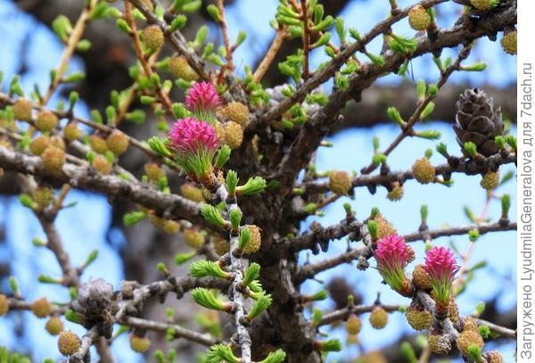 В зависимости от вида цветы отличаются махровостью и оттенками
