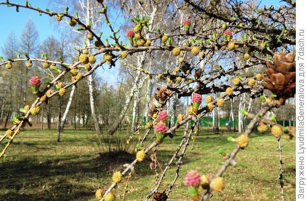 В солнечный день цветущее дерево сказочно красивое