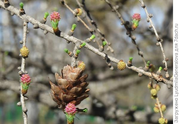 Зрелые шишки могут висеть на дереве 2-4 года