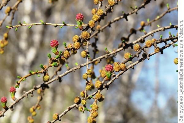 Цветёт лиственница ранней весной