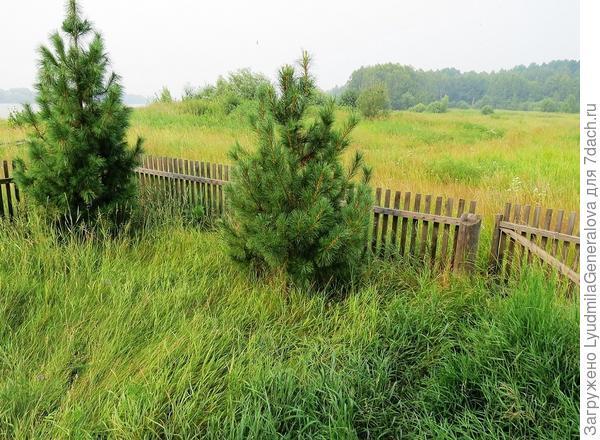 Подросшие кедры и трава по пояс.
