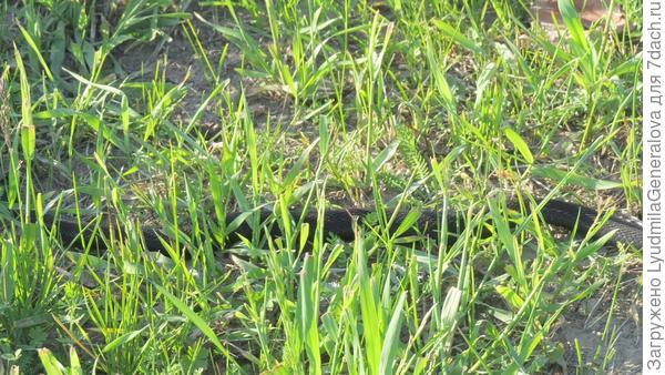Гадюка обыкновенная. В траве её  можно и не заметить.