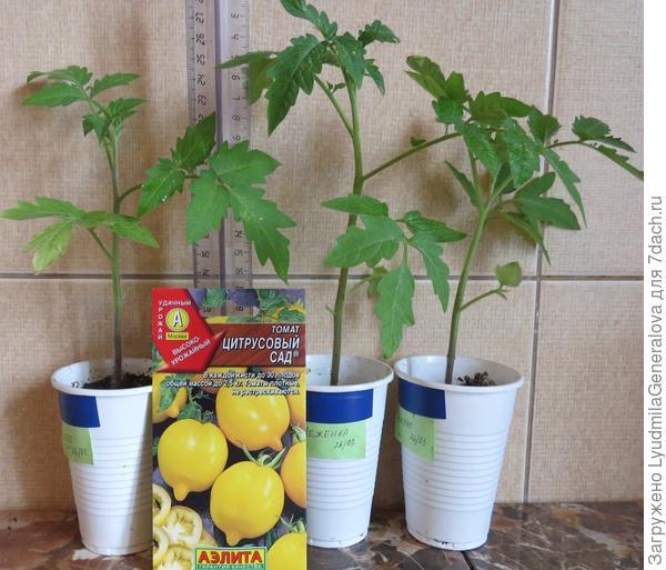 """5 корней рассады томата """"Цитрусовый сад"""" для дальнейшего наблюдения."""