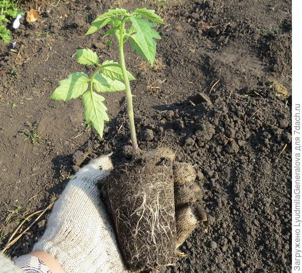 Вот такие корни у рассады