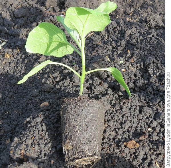 Рассада коренастая с хорошо развитой корневой системой.