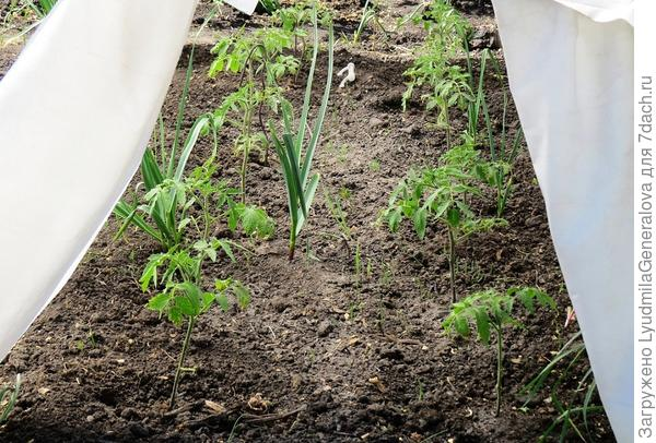 Растения окрепли и пошли в рост.