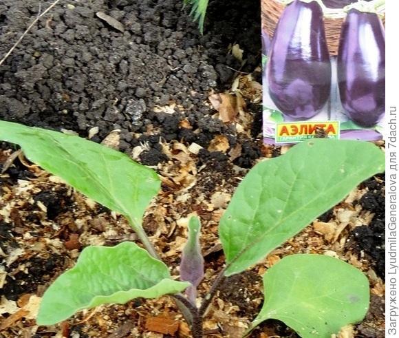 Новый лист, выросший после пересадки.