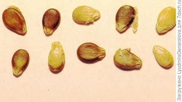 Семена арбуза крупным планом