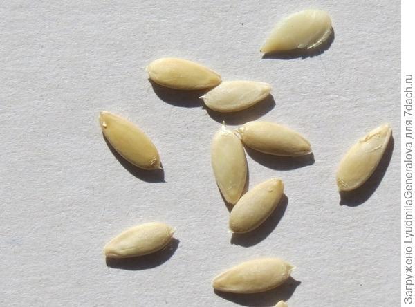 Семена огурца крупным планом