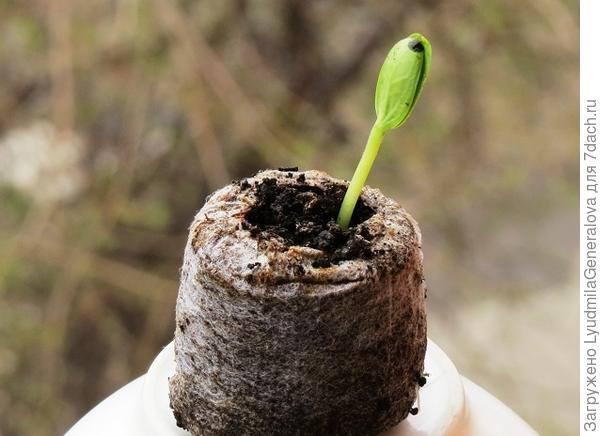 23 апреля. Первый росток.