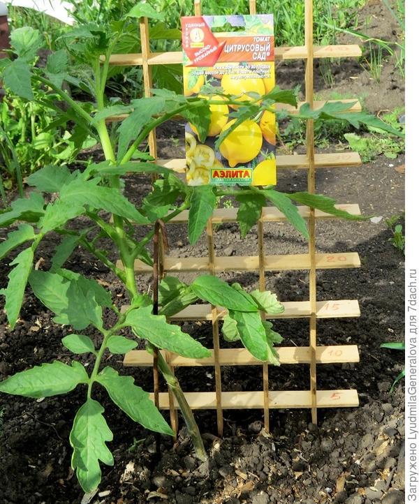 """11 июня. Высота растения томата """"Цитрусовый сад"""" около 45 см."""