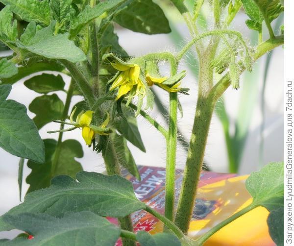 6-7 июля на двух растениях началось цветение.