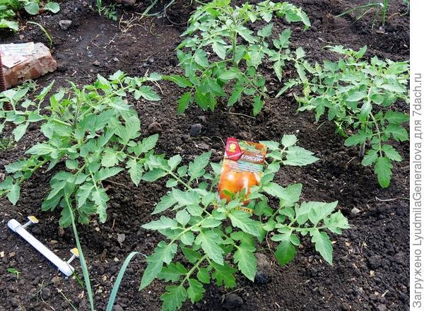 Оставленные четыре куста томатов для тестирования  в высоту растут медленно