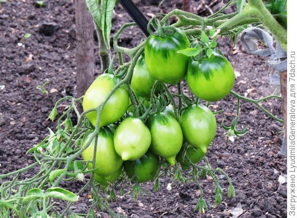 25 июля. Первая кисть томатов крупным планом.