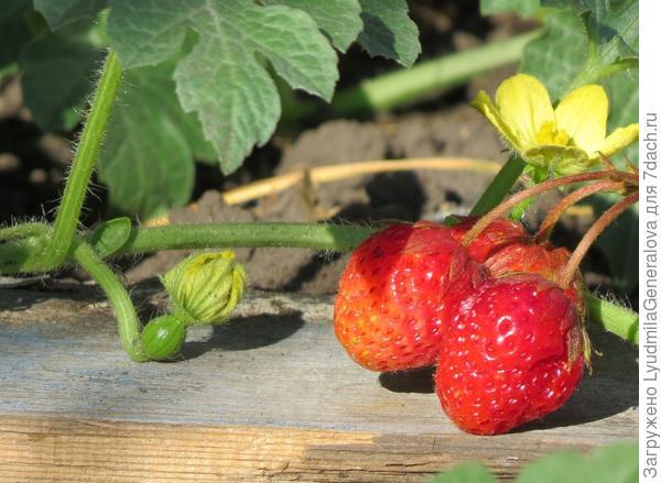 10 июля. Арбузик и  ягоды клубники.