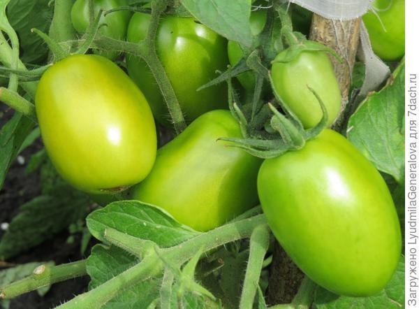 """Плоды томата """"Елисей"""" крупным планом"""