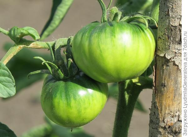 10 июля. На вторых кистях завязались по 2-3 плода, не  такие крупные, как на первых. Но все ровненькие.