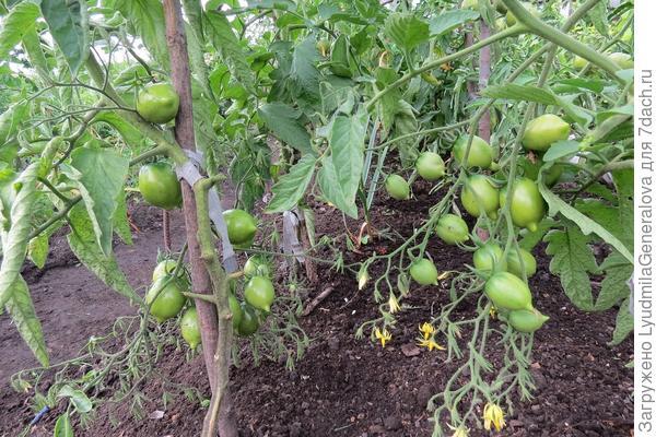 21 июня. На одной кисти наряду с довольно крупными зелёными плодами, продолжается цветение и формирование завязей.
