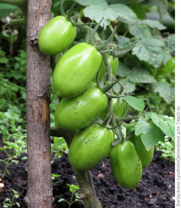 9 августа. Куст томата, выросший без укрытия.