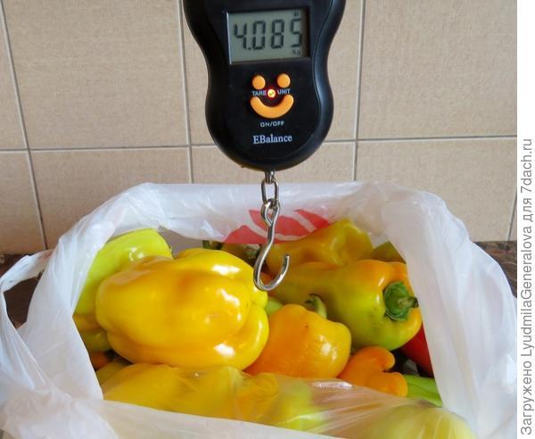 Урожай перца с четырёх тестированных кустов -