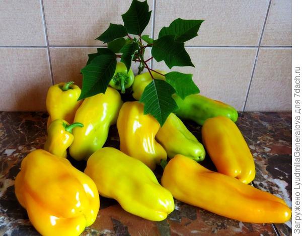 Урожай с одного куста. Замечательные  аппетитные и красивые плоды.
