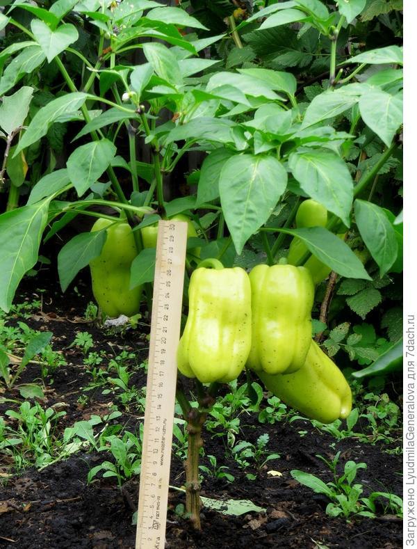9 августа. Плоды перца с хорошо выраженными сортовыми признаками.