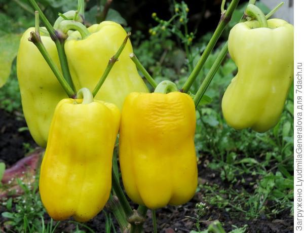 12 сентября. Перцы приобрели жёлтый окрас.