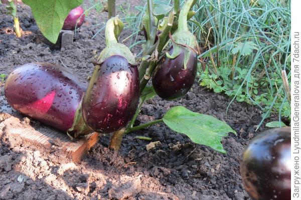 27 августа. Завязей по 3-4 на каждом кусте, помимо уже крупных плодов.