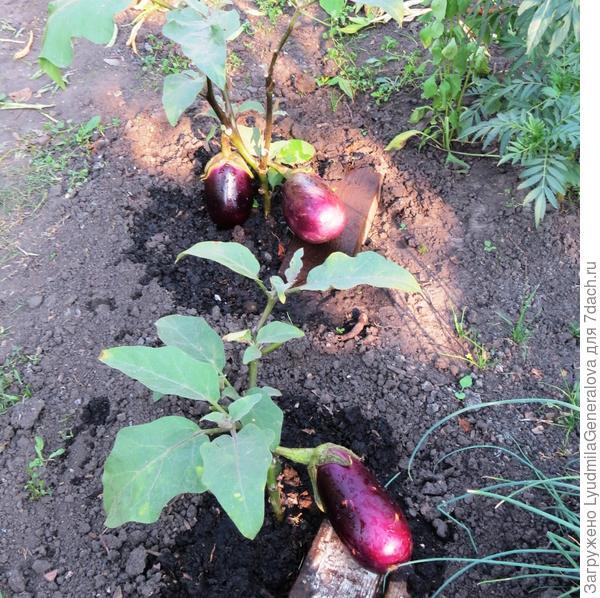 28 июля. Активный рост плодов баклажана сорта Бомбовоз