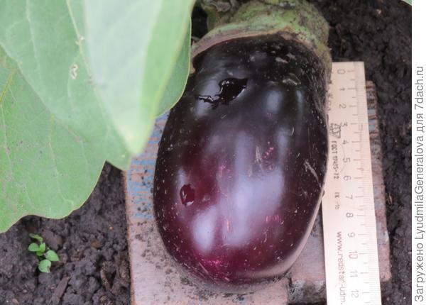 9 августа. Первый крупный плод со второго куста.
