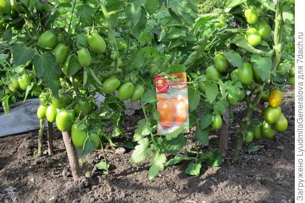 7 августа.Плодов в среднем около 80 штук на кусту