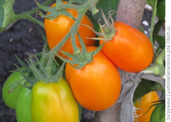 23 августа. Крупный план томатов сорта Елисей.